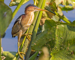Least Bittern IMG_2658.jpg (ronzigler) Tags: bird heron nature canon sigma least avian bittern birdwatcher 60d 150600mm