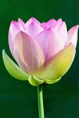 KAG Lotus 3-0 F LR 7-17-16 J140 (sunspotimages) Tags: flowers flower lotus