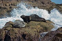 IMG_4492_edited-1 (Lofty1965) Tags: islesofscilly ios seal