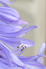 Agapanthus (Speedy349) Tags: agapanthus garden flower home blue stamen