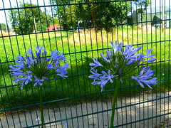 Agapanthus  P1030915 (LesD's pics) Tags: flowers blooms blossom agapanthus