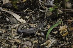 Lizard Amongst The Litter (Stephen Reed) Tags: tenerife spain summer island nikon photoshopcc lightroomcc d7000 vacation gallotia galloti