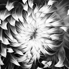 equinox (zip po) Tags: dahlia dublin ireland botannicalgardens mono chrome blackandwhite flower autumn september dahliavancouver square