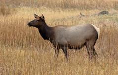 Elk, Female (brian.bemmels) Tags: elk wapiti cervuscanadensis cervus canadensis yellowstone national park yellowstonenationalpark female cow