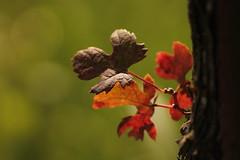 Torda. (SimonaPolp) Tags: vineyard vigneto fall autunno nature natura macro leaves foglie sun sole light luce cassaga september settembre