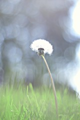 Last dandelion left (davidyounker) Tags: outdoors dandelion nature 50mm nikond3300 bokeh ohio artistic flower bubbles
