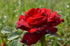 Treasure in the garden (dfromonteil) Tags: rose flower fleur red rouge droplets gouttes dew rose vert green macro bokeh sunlight lumire matin morning