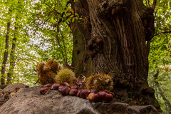 Chestnuts of autumn (carlo.goweather) Tags: castagne castagna eos100d canon canon100d canoneos100d canon1018 autumn tree albero wood forest nature lovenature