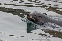 Lobo Marino (Jos M. Arboleda) Tags: mamfero marino sea lion lobo otariaflavescens ushuaia patagonia argentina canon eos 5d markiii tamron sp150600mmf563divcusda011 jose arboleda josmarboledac