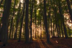 Sunset Trees (lutzheidbrink) Tags: nature landscape forest woodland tree trees nikon d5000 light rays sunrays ngc
