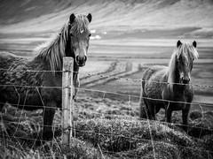 Icelandic horses (arsamie) Tags: iceland pony animal rider fence mountain race wild horse riding friend