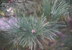DSC04028 (Old Lenses New Camera) Tags: sony a7r schneider schneiderkreuznach xenon 5cm 50mm f2 plants garden tree leaves austrianpine