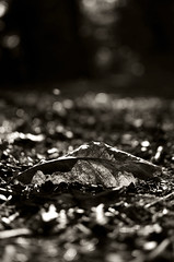 Autumn memories 2 (Claudio Taras) Tags: claudio contrasto taras nikon natura 35mm18 autunno bw biancoenero bokeh monochrom monocromo flower foglie autumn