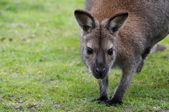 Thorp Perrow Arboretum (Angela Weatherall) Tags: thorp perrow arboretum north yorkshire birds prey owl hawk wallaby