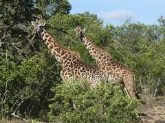 Two Masai Giraffe - Masai Mara, Keyna (Michael W Klotz - The Bird Blogger.com) Tags: africa kenya mara giraffe masai giraffa riftvalley giraffacamelopardalistippelskirchi