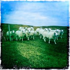 Dumhaí 4 / Dunes 4 (soilse) Tags: ireland wool grass fence coast wire sand sheep dunes dune cellphone bluesky hills marc geography gaeltacht markings donegal cellphonecamera iphone dunegrass olann 2015 flockofsheep uisce gaothdobhair farraige márta trá ardáin anghaeltacht dúnnangall féar éirinn tírchonaill sheepwire iphonography caoraigh tonnta hipstamatic hipstamaticapp cósta hipstamaticcamera machairegathlán gainnimh dumhaigh tíreolas marcanna sconsa tréadcaorach márta2015 coiscósta féardumhaigh lochannaí