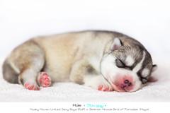 Puppies: Day seven, male (Emyan) Tags: dog pets animals pups puppies husky ukraine siberian kharkiv newborns