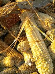 #PANOCHASCAPIROTES (Barba azul) Tags: de pista niñez maiz guadix paquillo comarca capirotes panochas