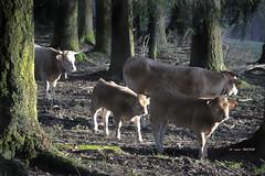 Familia entre abetos (Jabi Artaraz) Tags: light luz bosque zb vacas argia abetos behiak terneros euskoflickr superaplus aplusphoto jartaraz txahalak