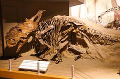 Pachyrhinosaurus (juan_guthrie) Tags: drumheller alberta royaltyrrellmuseum dynosaur