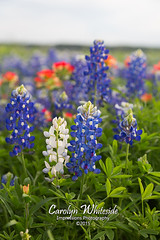White and Blue Bluebonnets