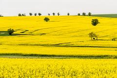 Harzraps (fotomanni.de) Tags: gelb raps baum harz