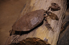 Plesiobaena - Basking (juan_guthrie) Tags: drumheller alberta royaltyrrellmuseum dynosaur