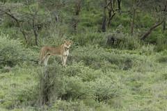 _MG_8147 (farhan1mirza) Tags: wild nature animal canon kenya wildlife 6d nnp nairobinationalpark