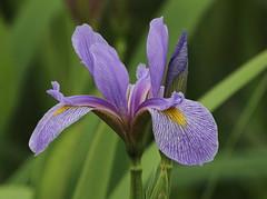 IMG_5966-1 Wild Blue Iris (John Pohl2011) Tags: plant flower canon john blossom bloom wildflower 100400mm pohl t4i 100400mmlens canont4i