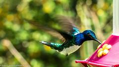 Colibri Collarejo -  Florisuga mellivora (Macho) (Juan Camilo Londoo Gaviria) Tags: bird panasonic ave colibri pereira florisugamellivora universidadtecnolgicadepereira dmcfz70 colibricollarejo juancamilolondoogaviria