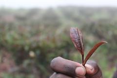 Purple Tea Leaf (JusTeaKenya) Tags: africa travel photography tea kenya farm handcrafted nandihills ethical tealeaf teafield teaplucking justea teaharvesting directtrade farmerdirect purpletea