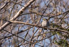 Bruant  gorge blanche! (pascaleforest) Tags: canada bird spring nikon qubec passion printemps oiseau natire bruantgorgeblanche d7200