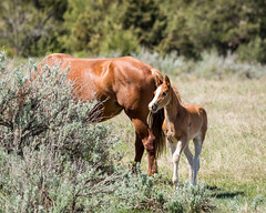 Safe With Momma (Bill_Oswald) Tags: animals wildlife northdakota colt wildhorses photog theodorerooseveltnationalpark otherkeywords northdakota2016