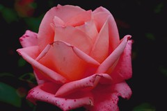 Lovely (Rajavelu1) Tags: flower art beauty rose colours creative rosegarden ooty artland macrophotography canon6d