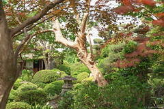 open garden (it05h1) Tags: plants plant green nature japan garden landscape japanese japanesegarden maple momiji vegetation saitama verdure konosu freshverdure bluemaple aomomiji japanscape it05h1