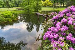 Rhododendrongarten im Schlosspark Arcen (Tatjana_2010) Tags: rhododendron rhododendrongarten schlossparkarcen niederlande netherlands