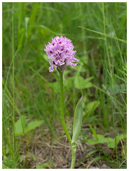 Three-toothed Orchid (Franois dt) Tags: flower nature orchids olympus wildflowers em1