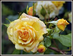 _JVA6854 (mrjean.eu) Tags: park pink flowers blue roses white france flower macro green nature fleur rose yellow fleurs garden nikon jardin botanic lorraine botanique parc metz 105mmf28