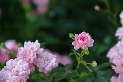 Roseto (noe.giovanni) Tags: flowers nature gardens canon tea natura fiori giardini canoneos1200d