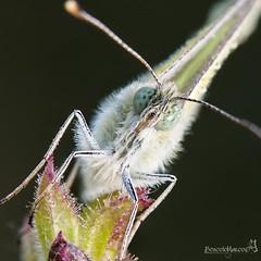 mini_primo piano (Boscolo Marco Camiletto) Tags: macro verde green nature wet butterfly insect natura rugiada farfalla insetto