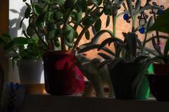 the elephant in the window (johngpt) Tags: plants window kitchen elephantfigurine hww windowwednesdays fujinonxf55200mmf3548rlmois fujifilmxt1