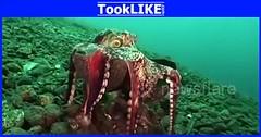 ปลาหมึกพากะลามะพร้าวติดตัวไปด้วย