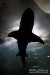 DSC_8330 (slamto) Tags: australia sydneyaquarium sydneysealifeaquarium shark