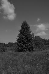 The Spruce (D.Haineaux) Tags: white black tree nature noir natur weiss arbre spruce blanc baum schwarz coniferous fichte nadel conifre pica harzig