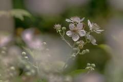 Bramenstruik (Chantal van Breugel) Tags: macro planten bloemen marknesse canon70300 zweefvlieg bramenstruik voorsterbos canon5dmark111