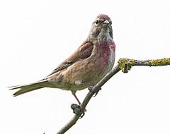 Linnet (heather.rigg) Tags: bird nature birds outdoor cleethorpes smallbirds linnet