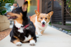 Taffy and Koda Bear (Brian.Buckler) Tags: red dog chicago color cute dogs smile canon bokeh pembrokewelshcorgi 5d tri 50l dogphotographer 5d3 brianbuckler