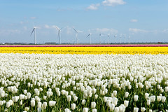 _DSC2769 (durr-architect) Tags: sky plant flower color colour field bulb landscape bright outdoor flowerbed tulip fields serene dronten flevoland oostelijk