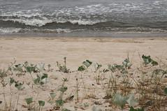 Am Strand in Klpinsee - Filzige Pestwurz (Petasites spurius); Usedom b (17) (Chironius) Tags: usedom mecklenburgvorpommern meklemburgiapomorze uznam deutschland germany allemagne alemania germania    ogie pomie niemcy pomienie laub asterids campanuliids asterales korbbltler asteraceae asteroideae senecioneae baltischesmeer ostsee balticsea stersen morzebatyckie stersjn  lnemere baltijasjra itmeri baltijosjra stersjen