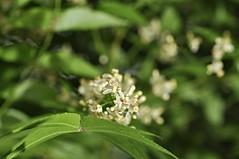 neem (margosa tree) (DOLCEVITALUX) Tags: flowers flower fauna flora philippines neem medicinalplants margosatree neemtree divinetree